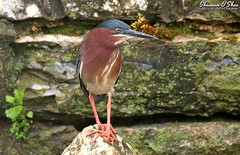 On the rocks with a twist (Shannon Rose O'Shea) Tags: shannonroseoshea shannonosheawildlifephotography shannonoshea shannon greenheron heron bird beak yelloweye skinnylegs birdyfeet breedingplumage rocks twist nature wildlife waterfowl leaves kiwanislakerookery york pennsylvania wild wildlifephotography wildlifephotographer wildlifephotograph art photo photography photograph outdoors outdoor colorful canon canoneos80d canon80d eos80d 80d canon100400mm14556lisiiusm butoridesvirescens girlphotographer femalephotographer shootlikeagirl shootwithacamera throughherlens fauna orangefeet orangelegs flickr wwwflickrcomphotosshannonroseoshea claws feathers wings moss rookery kiwanislake wall rock