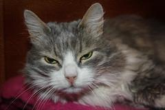 cat (VikTori_kvl23) Tags: cat domestic pet sleep fur furry downy kitten carnivore sleepy adorable animal eye eyes head