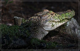 It's a haunting smile....American Alligator