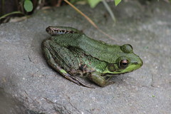 Frog (historygradguy (jobhunting)) Tags: easton ny newyork upstate washingtoncounty animal amphibian frog rock