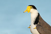 Masked Lapwing (ornithphotography) Tags: masked lapwing vanellus miles wynnum queensland australia bird animal wildlife nature spur winged plover