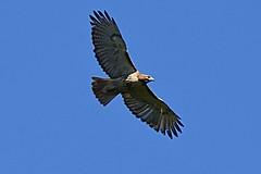 Red-tailed Hawk (Buteo jamaicensis) (JRWhitaker1) Tags: birdofprey bird flight maryland redtailedhawk buteojamaicensis raptor hawk