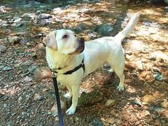 Gracie looking towards the bridge (walneylad) Tags: gracie dog canine pet puppy lab labrador labradorretriever cute june spring afternoon murdofrazerpark