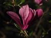 Magnolienblüte (Pico 69) Tags: magnolie blüte stern lila schön baum natur pico69