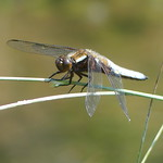 Broad-Bodied Chaser P1730483 thumbnail