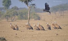 Vulturescape!!! (Anirban Sinha 80) Tags: nikon d610 fx 500mm f4 ed vrii n g bokeh vulture bird habitat desert landscape flight nature natural