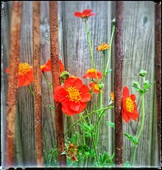 geum with cane (india_snaps) Tags: canes springtime flowerphotography orangeflower geum
