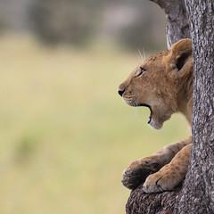 Wooow ... (AnyMotion) Tags: lion löwe pantheraleo cub young jung tree baum bokeh liontree 2018 anymotion morukopjes serengeti tanzania tansania africa afrika travel reisen animal animals tiere nature natur wildlife 7d2 canoneos7dmarkii square 1600x1600 ngc npc