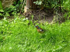 20180601Steiermark Garten Oberzeiring Vogel3v3 AngelikaMy (rerednaw_at) Tags: steiermark garten oberzeiring vogel angelikamy