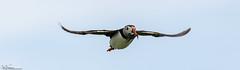 Supper's Ready. (Steve (Hooky) Waddingham) Tags: bird british sea summer coast nature northumberland fish flight fishing farnes wild wildlife photography