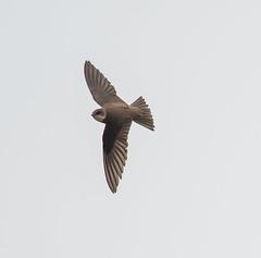 Minsmere flying Sand Martin