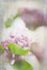 Lilac (judy dean) Tags: judydean 2018 garden lilac lensbaby doubleglass texture ps flowers
