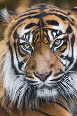 Look with grace (Soren Wolf) Tags: tiger tigers animal animals big cat zoo wrocław wroclaw nikon d7200 300mm portrait close up looking