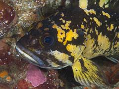 ML024628.jpg (alwayslaurenj) Tags: blackandyellowrockfish montereycarmel pointlobos