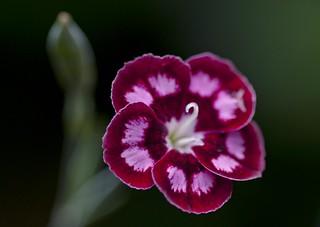 Beautiful Pink - Dianthus