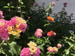 what a riot (kimberlee.marshall) Tags: deciduous toxic blooming heattolerant bush xeriscape lockhillselma hamandeggs camara lantana orange yellow pink flower plant heatresistant sanantonio texas 2018