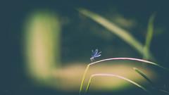 blu.one (_andrea-) Tags: blaue libelle carlzeiss mount objektiv outdoor sonya7m2 sonyalpha7mii planart1450 blue flickrdiamond calopterixsplendens andreaimages