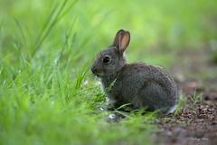Rabbit- Oryctolagus Cuniculus. (PANDOOZY PHOTOS) Tags: rabbit rabbits oryctolaguscuniculus uk gb spring grass mammal mammals animal animals leporidae lagomorpha european vertebrates vertebrate baby cute babies