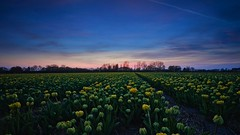 Yellow-green field (l.cutolo) Tags: worldtrekker dutchscape saturation flowers blue highcontrast netherlands hollandscape raw2018 perfecteffect ngc tulips hdr flickr purplesunsetsky onesoftware sunset sonya7ii sony tlp dutchlandscape tulip blomen worldtrekking lucacutolo landscape onone digitalblending vignette purple sonyfe1635mmf28gm