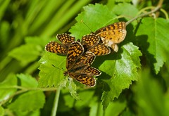 Heath Fritillary - 'togetherness' (michael.gittos) Tags: pentax woodland birch nature wildlife
