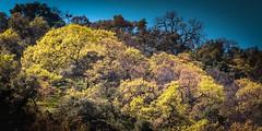 Spring Trees (CDay DaytimeStudios w/1,000,000 views) Tags: ca california eastbay eastbayregionalparks hillside sunolregionalpark sunolvalley trees winter