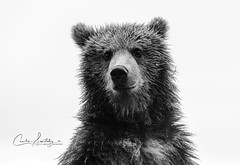 Close encounter (CecilieSonstebyPhotography) Tags: bjørn portrait brunbjørn youngbear curious finland bw snout animal curiousbear bear fur rain wetfur eyes closeup black brownbear wild blackandwhite close ef70200mmf28lisiiusm specanimal