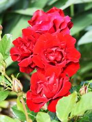 DSC_0141 (PeaTJay) Tags: nikond750 reading lowerearley berkshire macro micro closeups gardens outdoors nature flora fauna plants flowers rose roses rosebuds