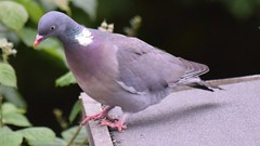 Don't look down! (Sandyslifethroughalens) Tags: pigeon mygarden gardenbirds wildandfree wildbirds birdphotography nature naturephotography wildlifephotography bird birdwatching birders