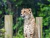 Cheetah (wi-fli) Tags: lenstagger eastercompton england unitedkingdom cheetah wildplace bristol zoo legacy mf manual helios cat bigcat