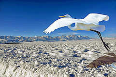 The Unlikely Winter Flight of a Great Egret in Jackson Hole, Wyoming (Logan Pierson) Tags: jackson hole grand tetons yellowstone wyoming snow elk refuge great egret heron bird flight bison wolves wildlife nature photoshop virtual mountains park national western west skiing cold blue sky