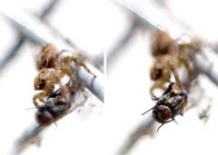 Predator and the Prey (hotshot_rz) Tags: macro predator prey spider fly mini ecology noise canon 50mm reversering photographybyraz