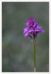 MMM9 (Outlaw Pete 65) Tags: macro closeup fiore flower orchidea orchid colori colours viola purple verde green natura nature fujixe3 micronikkor55mm collebeato lombardia italia