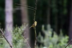 Yellowhammer (georgehart64) Tags: bokeh zoomlens ef100400mmf4556lisiiusm canon70d canon branch tree aberdeen aberdeenshire scotland westhill carniewoods smallbird bird yellow yellowhammer