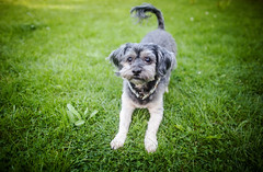 23/52 - Let's Play! (Kirstyxo) Tags: teddy cute dog sweet play playbow fun 2352 52weeksfordogs 52weeksfordogs18 52weeksfordogs2018