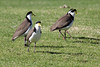 Plovers (iansand) Tags: homebushbay bird plover spur winged lapwing spurwingedplover maskedlapwing