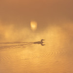 Sunrise With A Loon thumbnail