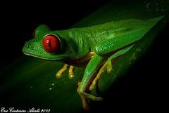 Ojos rojos (Eric Centenero Alcalá) Tags: ranadeojosrojos frog rana agalychnis redeyes