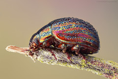 Rosemary Leaf Beetle (S W Mahy) Tags: guernsey channelislands guernseymacro beetle insect closeup mpe65 focus stack lavender rosemary leaf bokeh macro garden wildlife nature chrysolina americana rainbow colours dew drops detail amazing fantasticinsect