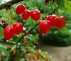 Le temps des cerises (Le.Patou) Tags: vert rouge green red jardin garden yard cerise cherry cherries fruit drop waterdrop goutte goutted'eau