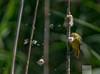 Blackwater National Wildlife Refuge 6/14/18 (AnthonyVanSchoor) Tags: anthonyvanschoor maryland usa orchard oriole