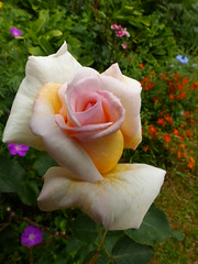 P1170185 (jrcollman) Tags: helianthemum plants dianthus rplant gplant hplant rosepolly 21beechwoodgarden geraniumsanguineum nigella archived helianthemumbroughtyorange nplant dplant