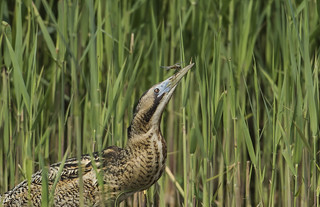 Bittern & Dragonfly - Rare event., we couldn't resist another