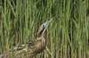 Bittern & Dragonfly - Rare event., we couldn't resist another (Ann and Chris) Tags: avian amazing awesome bird beak bittern dragonfly gorgeous incredible image impressive insect unique rare stunning unusual wildlife wild