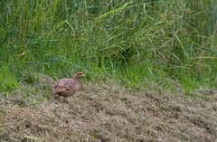 Perdrix grise (JeanJoachim) Tags: perdrixgrise perdixperdix greypartridge galliformes phasianidae oiseau bird vogel aves uccello fågel fugl pássaro バード lintu птица ptak rebhuhn pentaxk5ii smcpentaxda300mmf4edifsdm