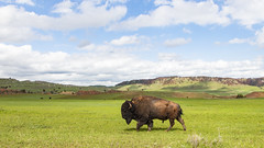 Focused (Notkalvin) Tags: americanbison bison buffalo animal notkalvin notkalvinphotography mikekline outdoors windcave nationalpark field grass mountains ridge openland america west southdakota nopeople landscape panorama colorimage