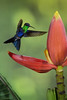 Violet-crowned Woodnymph (Chris Jimenez - Take Me To The Wild) Tags: ramon workshops birding woodnymph nature san birds colombica rica wild violetcrowned action flight costa thalurania chris hummingbird life fannyi jimenez