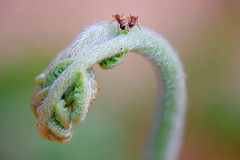 Nibbling at nature's fist (Fujibert) Tags: makro focusstack insekt landschaft wald tier stil ameise farn pflanze animal landscape macro style