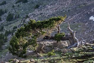 Ancient Bristlecone Pine Tree at Mount Evans, Colorado.