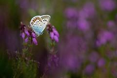 Deep Purple. (trevorwilson1607) Tags: silverstuudedblue plebejusargus heathland lateafternoon purple nikond850 1640thsec iso400 f5 heather roosting 105mmsigmamacro