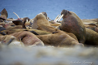 Walrus Congregation